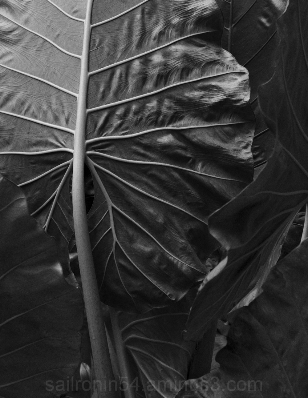 B&W Elephant Leaf detail