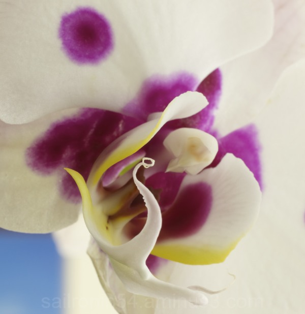 Macro shot of white and purple Moon Orchid
