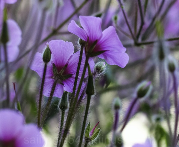 Purple flowers with stems and buds