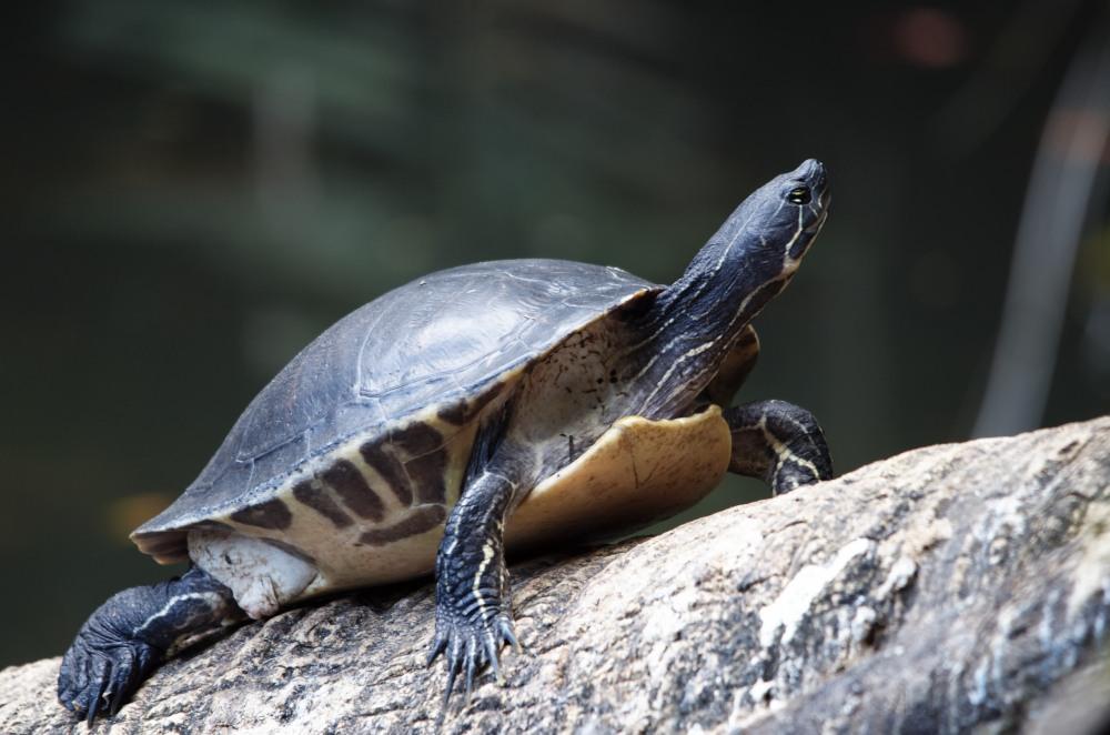 Turtle sunning himself on a log
