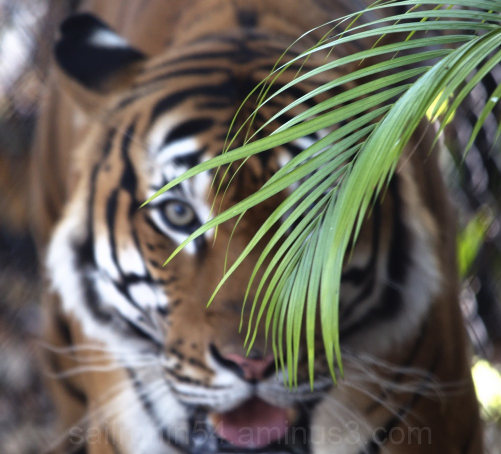 tiger behind palm frond