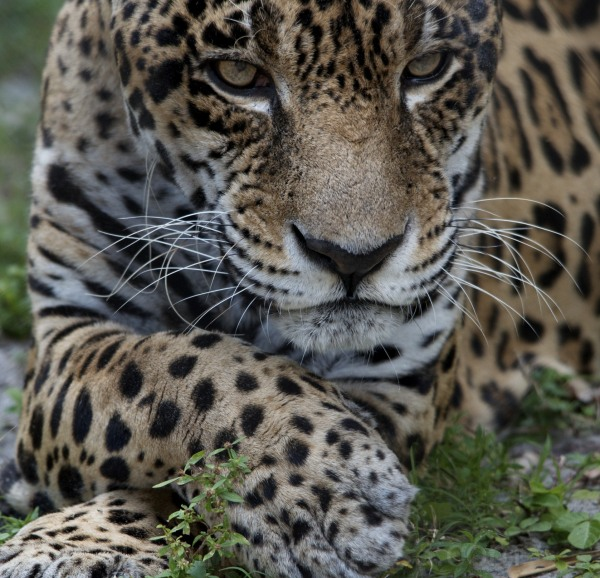 Male Jaguar in his GQ pose, cool and confident