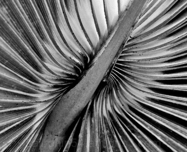 Macro B&W Palm Frond pattern