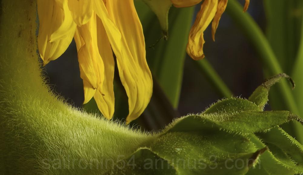 Yellow sunflower, macro details, leaf, petals,