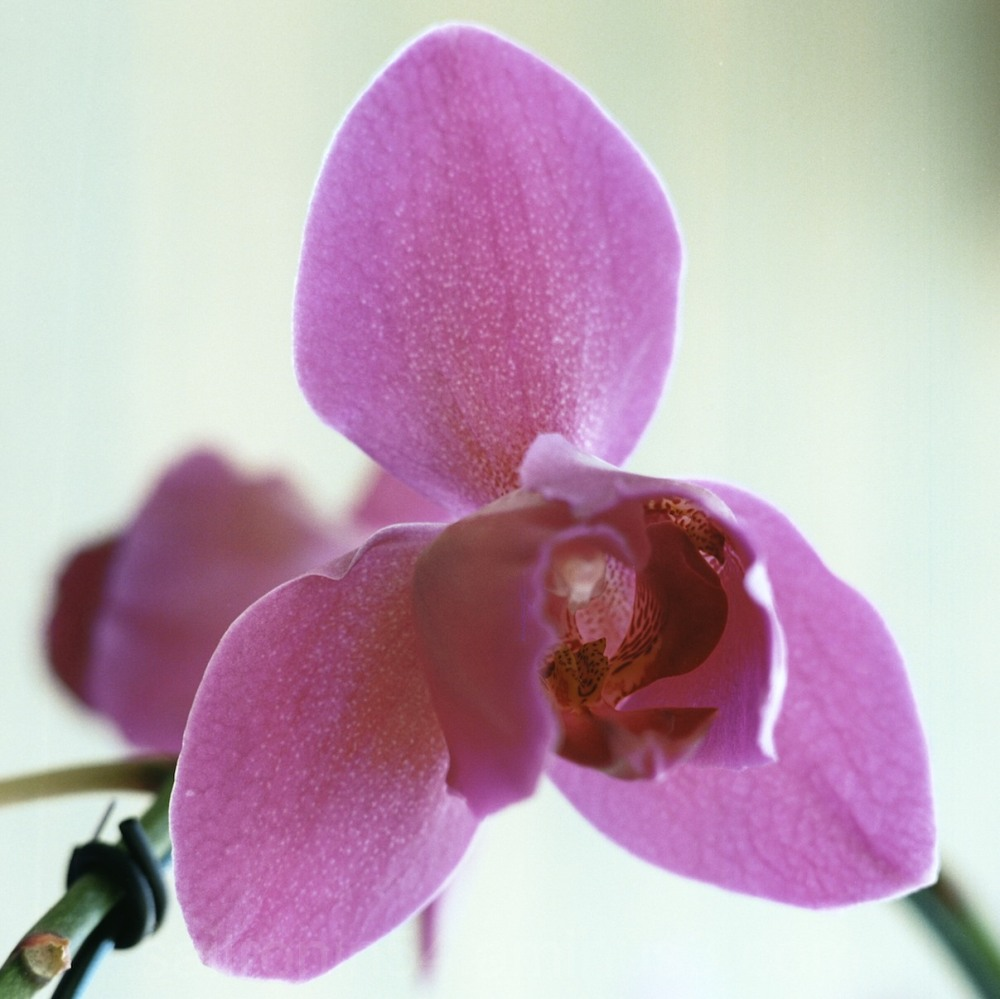 Purple Moon Orchid close up