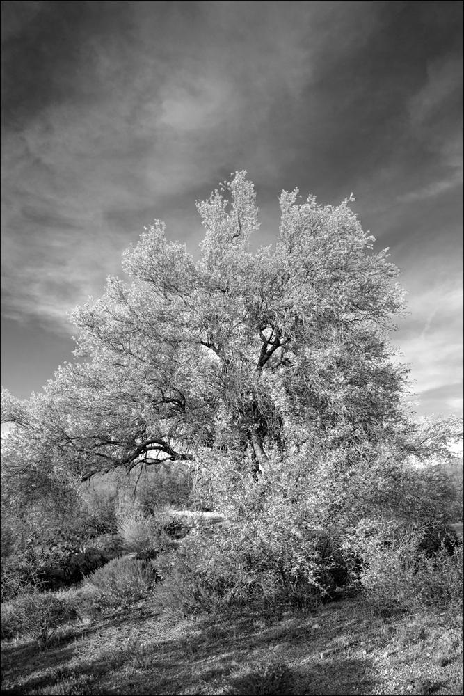 Desert Palo Verde Tree