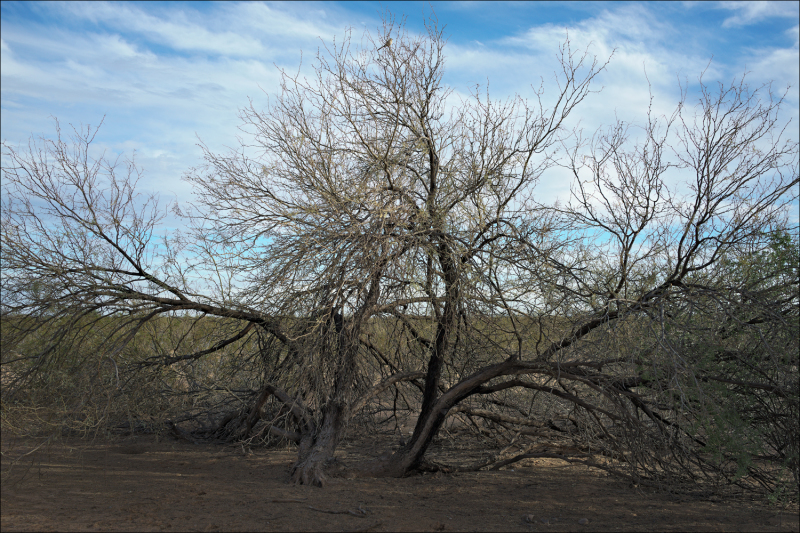 Mesquite Tree on the Reservation, No. 2