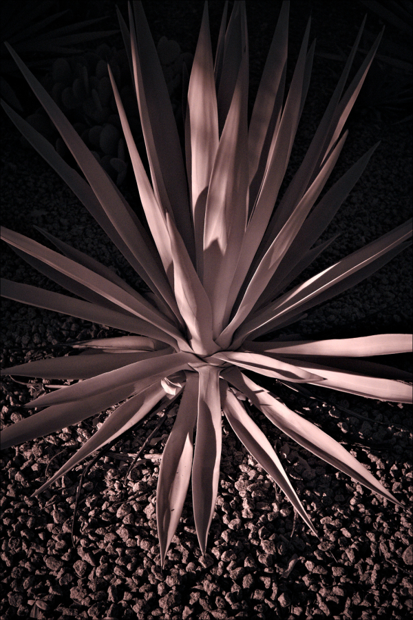 Agave in IR...
