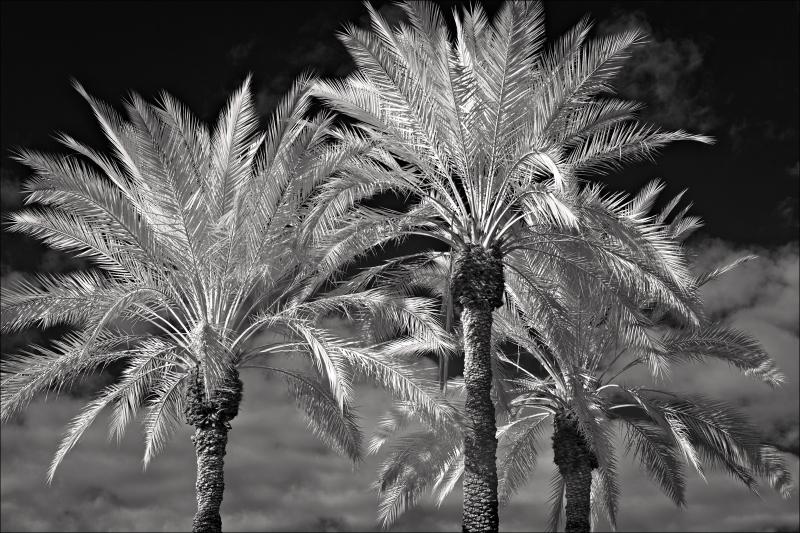 Three date palms...