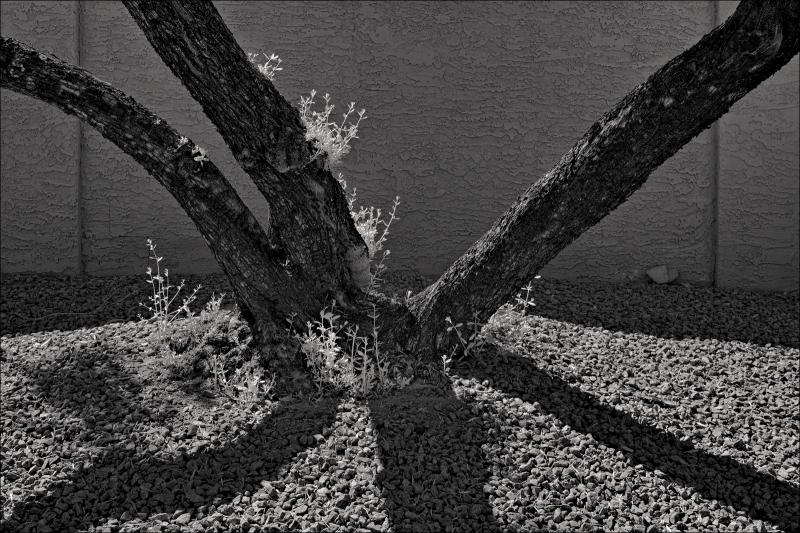 Mesquite tree and gravel...