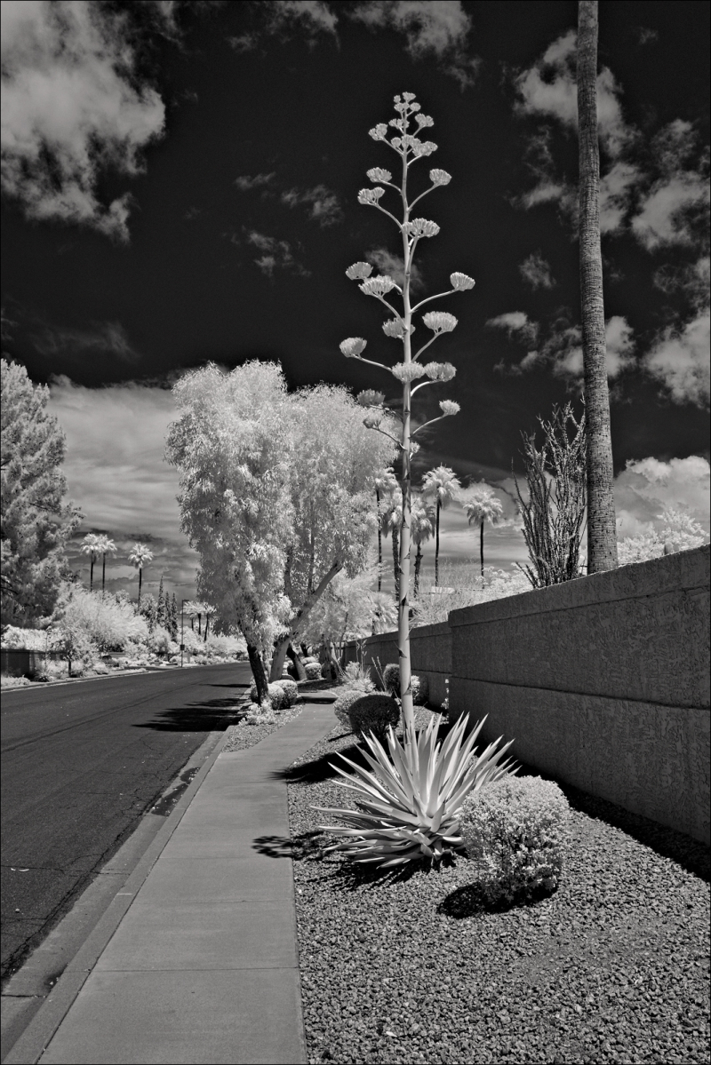 Death throes of the Agave Americana...