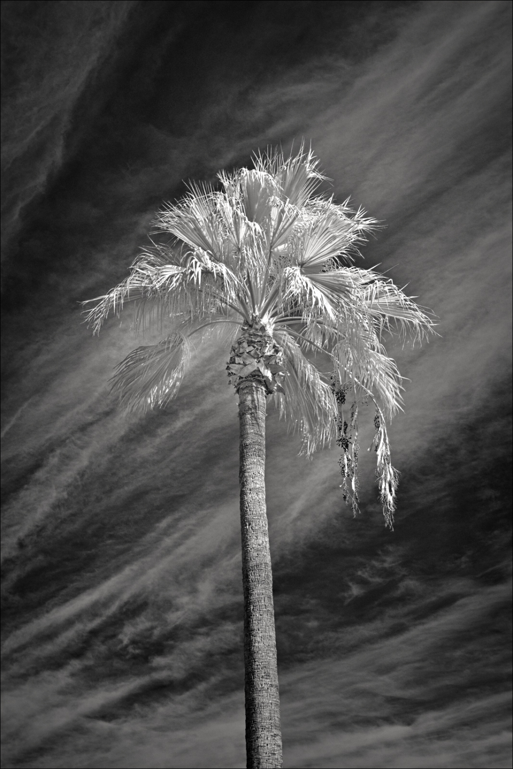 Infrared Palm Tree season is here again!