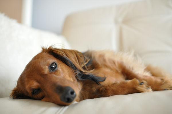 Chloe the dachshund