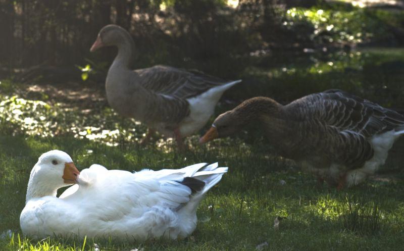Ducks: Auburn Botanic Gardens, Sydney