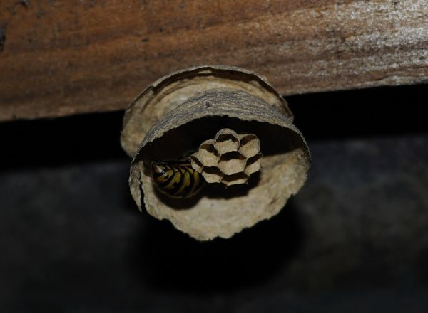 a close up of a hornet nest under construction