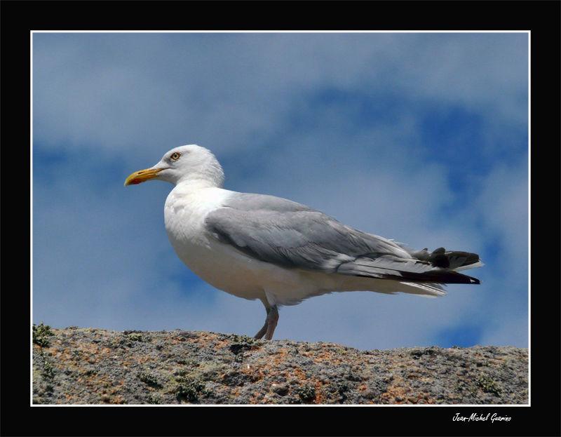 Goeland seagull