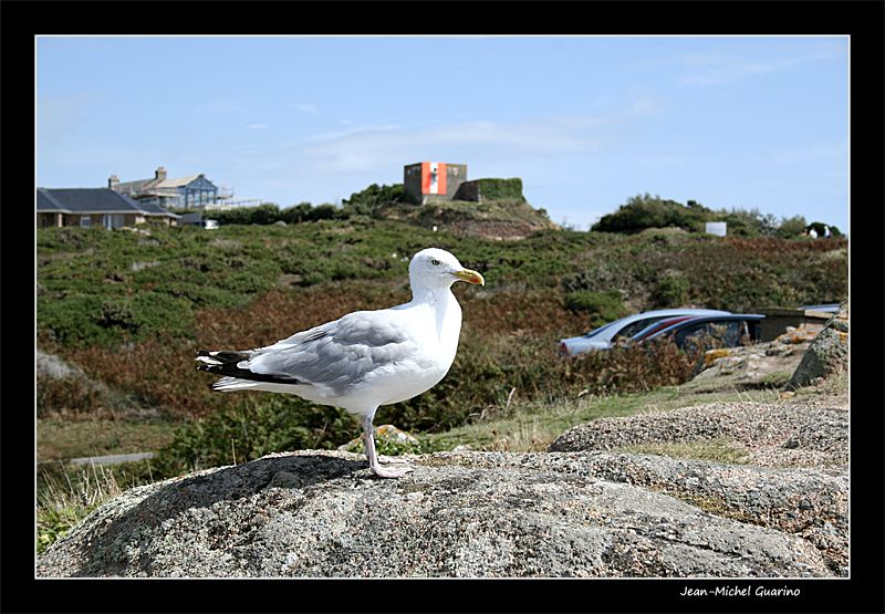 Jersey seagull mouette
