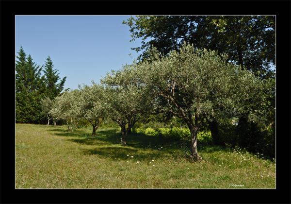 Vaison la romaine oliviers