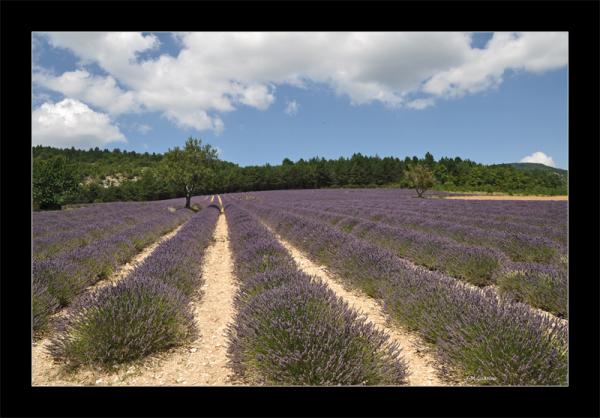Provence champ lavande