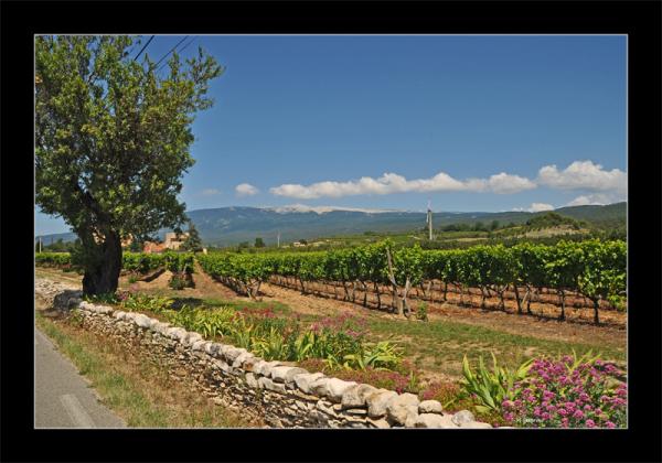 Provence vignes Mont Ventoux