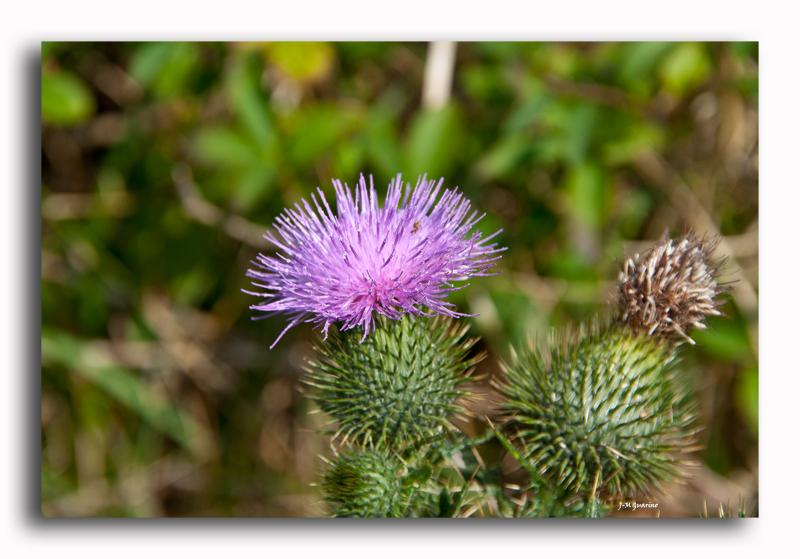 Cotentin Barneville plante