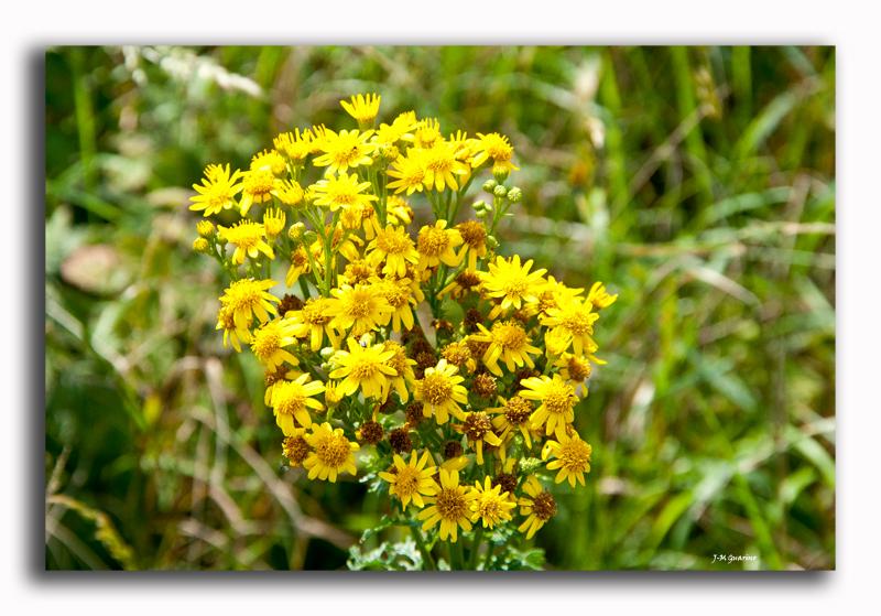 Cotentin Barneville plante Fleur jaune