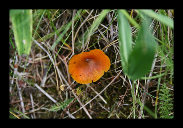 Macro champignon sauvage Valais Suisse