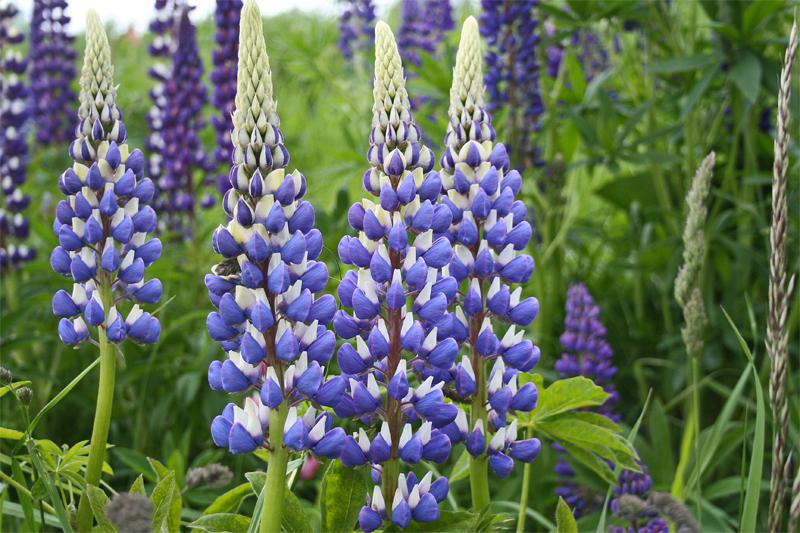 Suisse Fleurs bleues