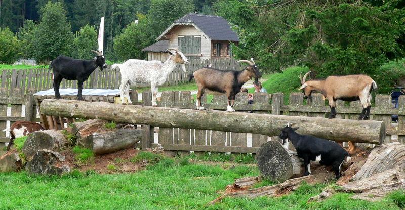 goat traffic