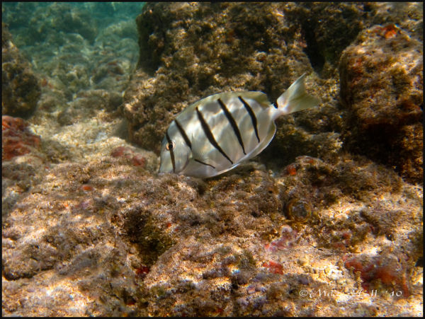 A convict Tang in Hanauma Bay, HI