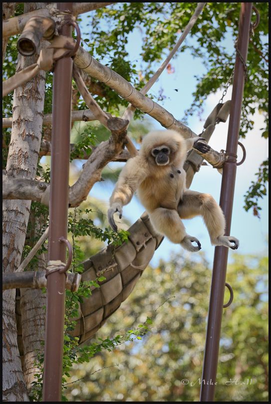 A White-handed Gibbon at the Honolulu Zoo