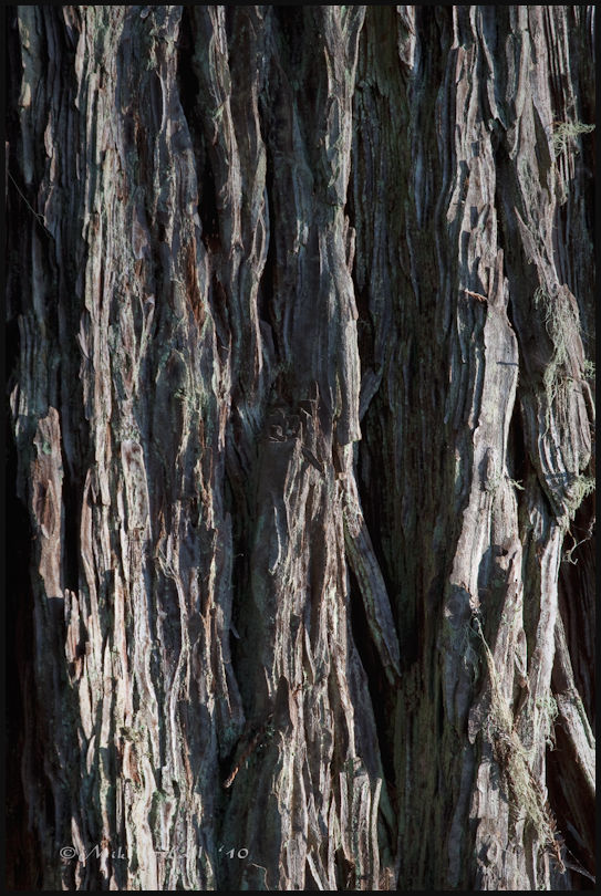 The bark of an old growth Coast Redwood