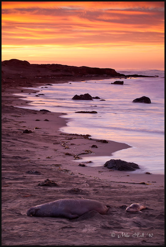 Elephant seals under a late fall sunrise