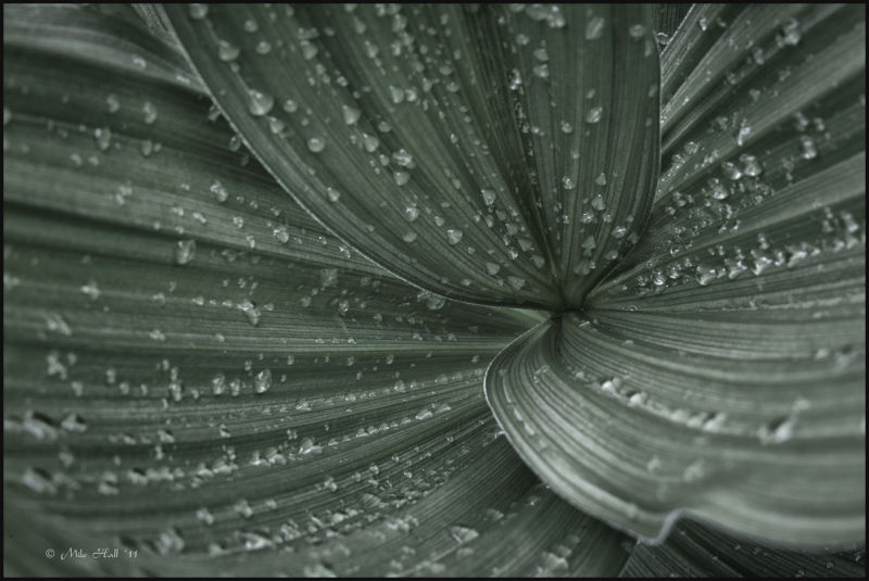 Water drops on Corn Lily Leaves
