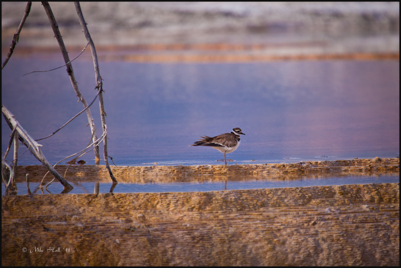 Kildeer bathes in hot spring  in Yellowstone