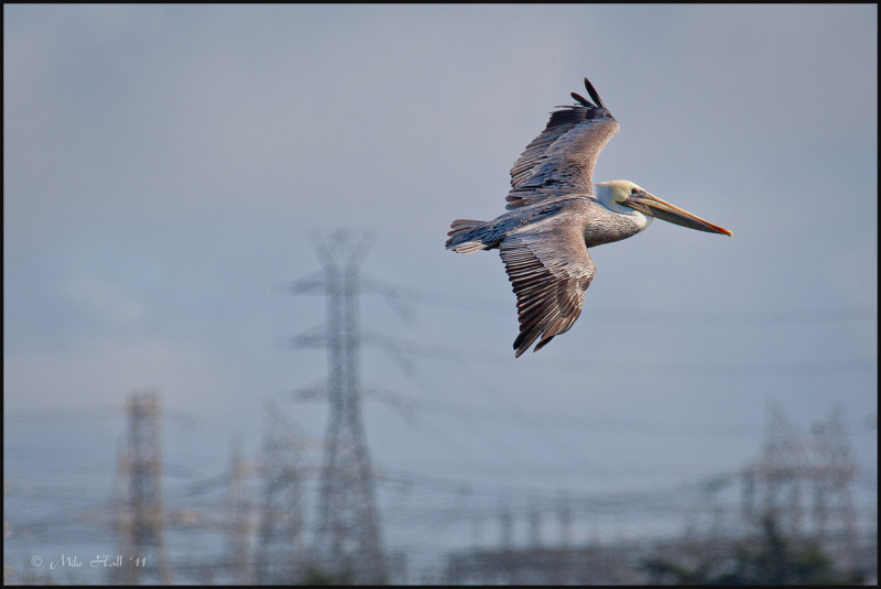California Brown Pelican in flight