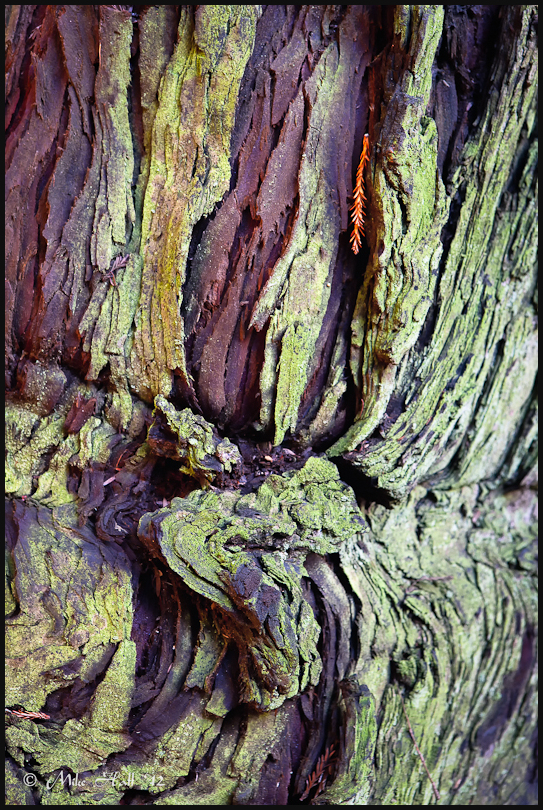 Lichen covered Redwood tree bark
