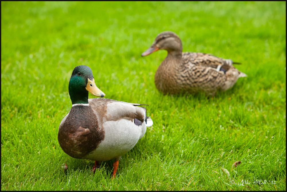 Ducks on grass during a rain shower