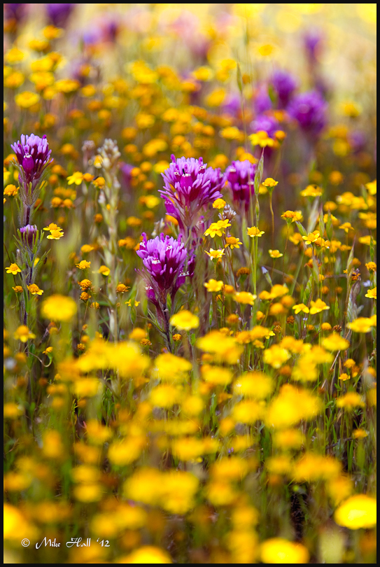 San Benito County Wild Flowers