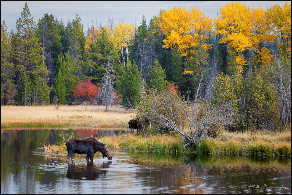 Moose grazing in Grand Teton National Park