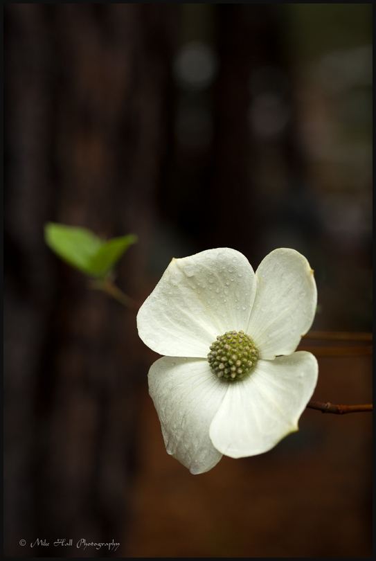 Dogwood bloom in Yosemite National Park on a rainy