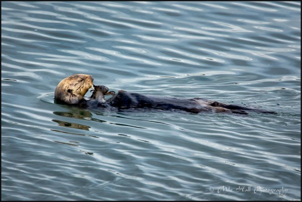 California Sea Otter feeding on crab