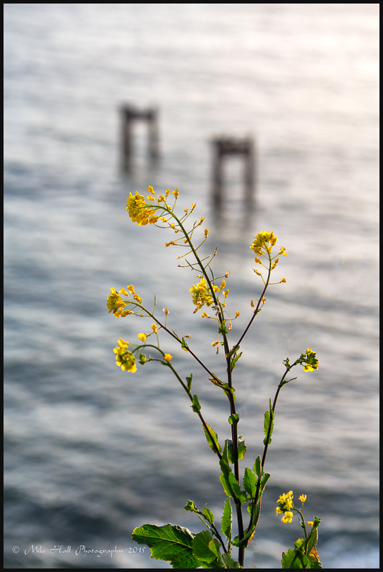 Flowers above the Davenport Piers