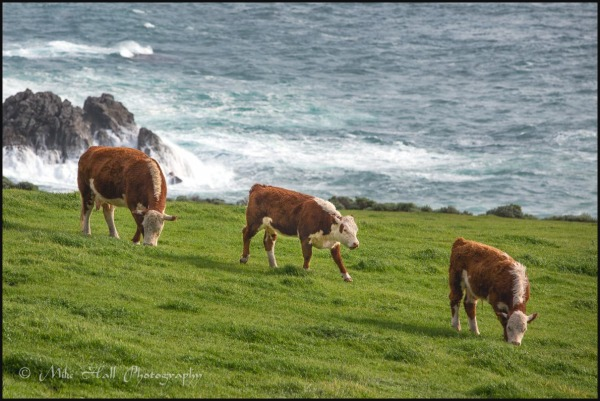 Grazing cattle at Rocky Point, Big Sur, CA