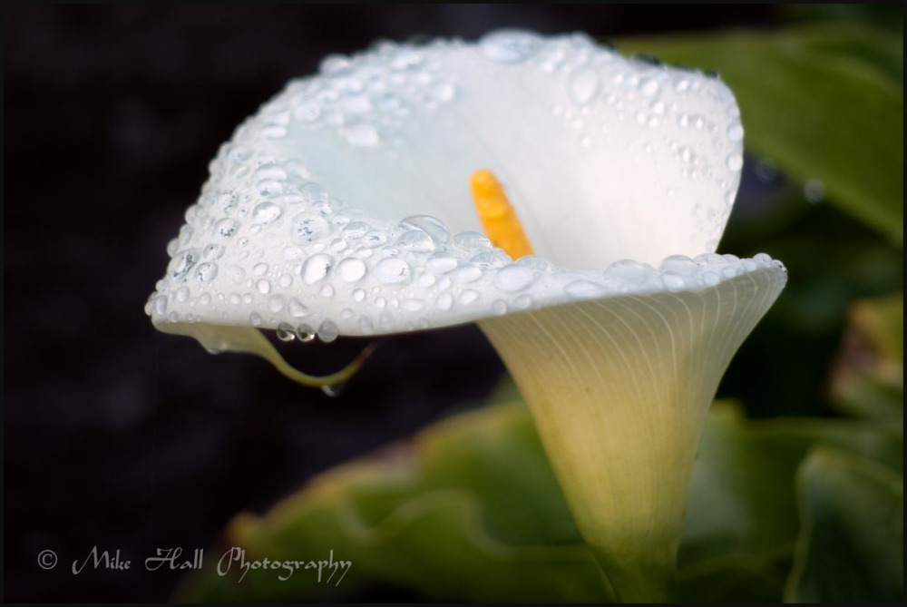 Calla Lily covered with dew drops