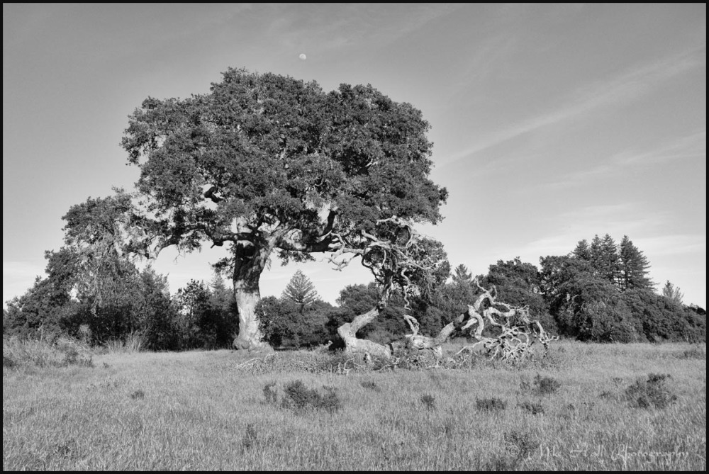 Oak tree with the rising moon
