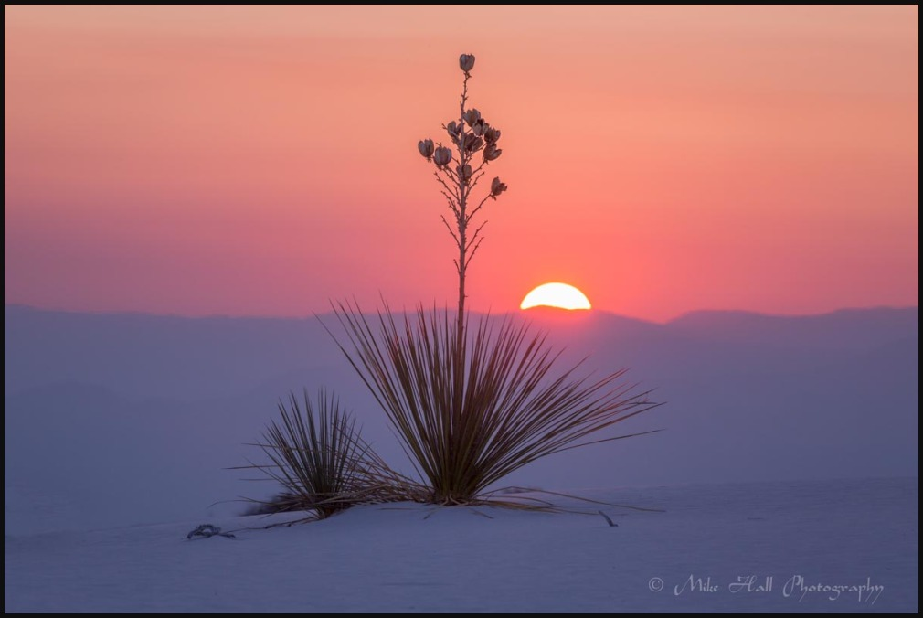 Yucca at White Sands Nat Monument at sunrise