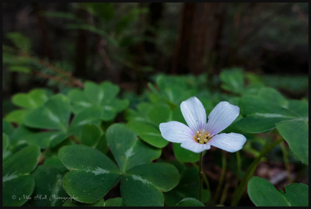 Redwood Sorrel amongst the Redwoods