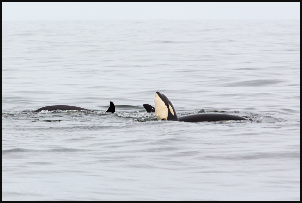 Juvenile Orca spyhopping in the Monterey Bay, CA