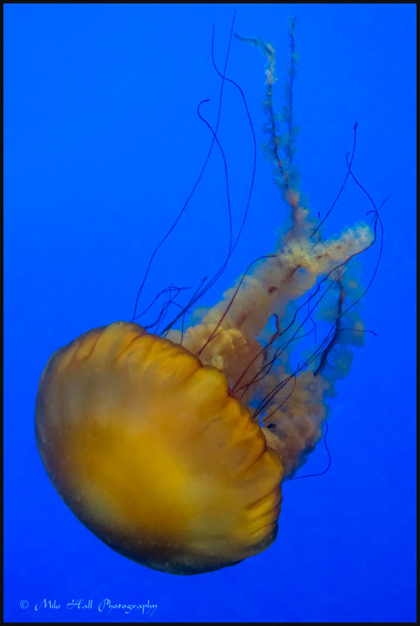 Jellies Exhibit at the Monterey Bay Aquarium